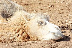 Camel head Stock Photography