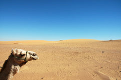 Camel head. A camel ride near Dakhla Oasis, Egypt Stock Photos