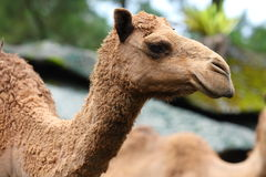Camel Head Stock Image