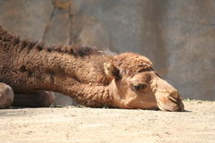 Camel Head. Sad Looking Camel With Head on the Ground Stock Images