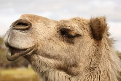 Camel Head. Camels Close-up Profile Royalty Free Stock Photography