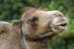 Camel head. Head of a camel in Prague Zoo (Czech Republic Stock Photo