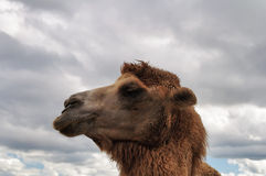 Camel head Stock Images
