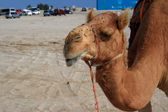 Camel head. A camel in Qatar waiting to be ridden stock photo