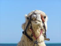 Camel head. White camel head with trappings, Tunisia Stock Photo