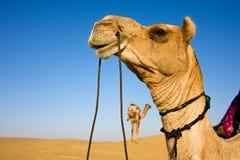 Free Camel Head Royalty Free Stock Photography - 4196207
