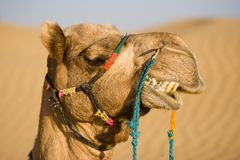 Camel head Royalty Free Stock Photography