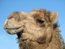 Camel Head Royalty Free Stock Photos