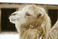 Camel head. Of an adult male in zoo Stock Images