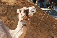 Camel Head Royalty Free Stock Photography