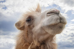 Camel. Head of a camel on a background of a sky with clouds Stock Images