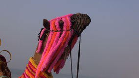 Camel head on blue sky in India Stock Photo