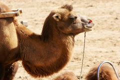 Camel head close up Royalty Free Stock Images