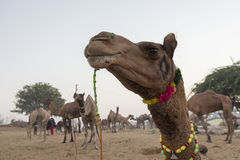 Camel head in close Stock Photography