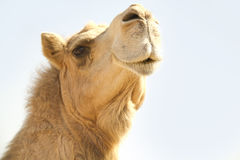 Camel Head 1. Close Up of Camel Head in desert sun light Stock Images