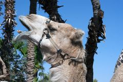 Camel head close up portrait. Detail camel head and background blue sky and palms Royalty Free Stock Photo