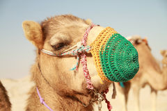 Camel Head 2. Close Up of Camel Head in a Qatar Desert Stock Photography