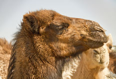 Camel Head 3 Royalty Free Stock Photos