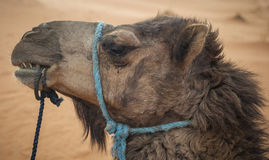 Camel head stock photography