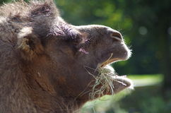 Camel Head Close-Up. Close-Up head shot of camel with mouth open eating hay in London Zoo Stock Image