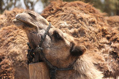 Camel head closeup Stock Photography