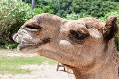 Camel head closeup at the beach side Stock Photos