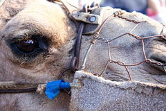 Camel head closeup. Eye with rusty wire harness Stock Photos