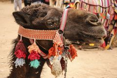 Camel head closeup portrait with colorful traditional harness in royalty free stock photography