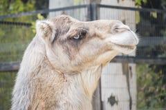 Camel head closeup portrait Stock Image