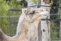 Camel head closeup portrait Stock Images