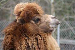 Camel head. Closeup of camel at zoo Royalty Free Stock Photos