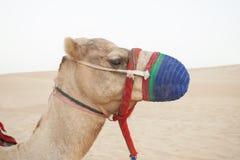 Camel head in the desert. Safari stock photo