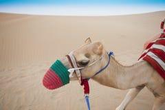 Camel head in the desert. Safari stock images