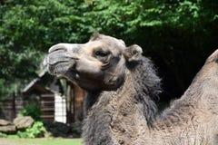 Camel, head detail Stock Photos