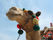Camel head dolled up. Photo of a camel in the Egyptian desert near Marsa Alam Stock Images