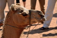 Camel head in front of legs of tourists Royalty Free Stock Image