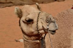 Camel head in front of sandy background Stock Photo