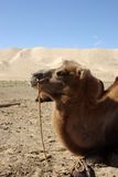 Camel Head In Mongolia Royalty Free Stock Photos