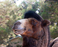 Camel. The head of a large animal, a mammal that lives in the desert, camel Royalty Free Stock Photos