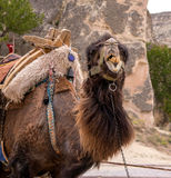 Camel. The head is large. Camel for the entertainment of tourists Stock Photo