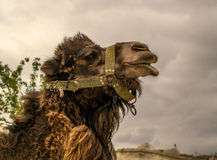 Camel. The head is large. Camel for the entertainment of tourists Royalty Free Stock Images