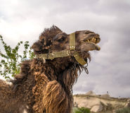 Camel. The head is large. Camel for the entertainment of tourists Royalty Free Stock Photos