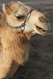 A camel head. A camel is looking for a passanger Royalty Free Stock Images