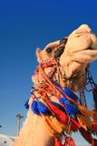Camel head in the Middle East Royalty Free Stock Images