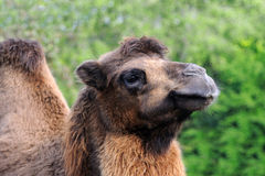 Camel head on nature background Royalty Free Stock Images