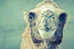 Camel head portrait closeup view Royalty Free Stock Photo