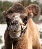Camel head. Portrait view of Camel head on Indian desert Royalty Free Stock Photo
