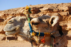 Camel Head Profile, Egypt. Camel Head Profile with head dress, Egypt royalty free stock photos