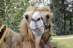 Camel head Royalty Free Stock Photos