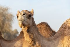 Camel head shot crossing the road near the camel race track in the evening sunshine. Stare down. stock photo